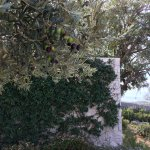 Ripe olives outside our bedroom window