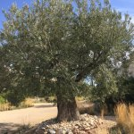 Another fine, old olive tree