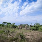 giraffe on evening drive