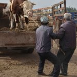 The locals pulling the cow down from the truck with extreme force