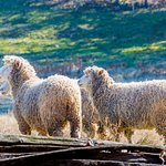 The sheep roaming