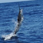 Marlin on the move
