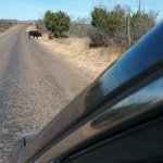 Bison crossing the road in front of our car