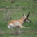 Custer SP Pronghorn