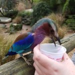 The lilac breasted roller polishing off the crumbs in our pot of mealworms