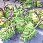 Platanos (bananas)