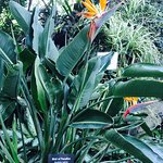 Bird of Paradise in the Tropical Dome