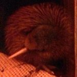 five day old Rowi kiwi
