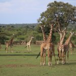 Royal Mara Safari Lodge-billede