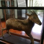 The preserved rare goat that Dr Sun hunted