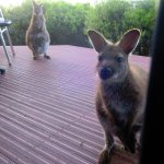 Wallabies (with their babies) right outside our room. You're looking at the door to the patio.