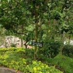 Allspice tree in spice garden