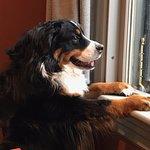 Sienna, our Bernese Mascot