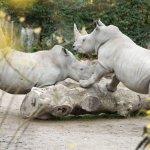 Les rhinocéros.
