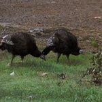 Resident turkeys
