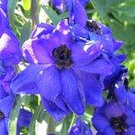 a rare blue flower