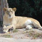 Lioness dozing