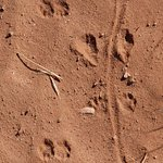 Tracks in the trail from small animals