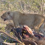 Pride of Lions on Buffalo kill