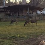 Deer at the Osborne Inn