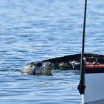 A curious seal near Seal island