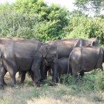 '' bunch of elephant's ''