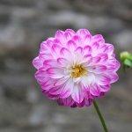 Dahlia in the gardens