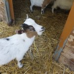Goats in the petting farm
