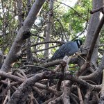 Rare Yellow Crested Night Heron - Amazing find