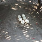Ostrich eggs at teh farm.