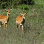Gazelles at the park