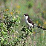 Shrike at the park