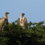 white backed vultures seen on tree top