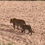 Leopard and four month old cub