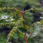 coffee plant ....in the estate