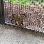 Tiger cub only out until noon.
