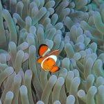 Anemonefish on the Biorock