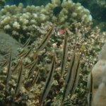 Razorfish at Reef Seen