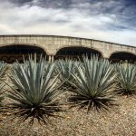 A nice view of the agave garden and the masonry ovens used at Casa Herradura.