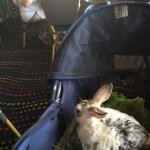 My pet rabbit, Narvik; relaxing in his stroller.....