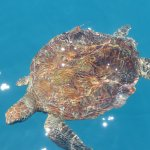 A Green Turtle off swimming around the boat