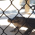Alligator talk