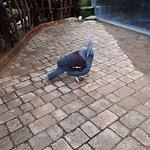 Expecie rara de paloma