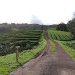Gorreana Tea Plantation Foto