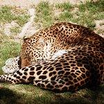 leopard cango ranch