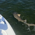 tiger shark came up in the chum slick while catching spanish mackerel
