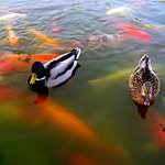 Ducks and Koi waiting for someone to feed them.