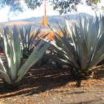 Agave Plants, Round Poiind Estate, Napa Valley, Ca