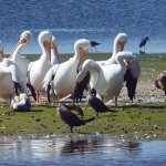 "White pelicans at JN ""Ding"" Darling NWR"