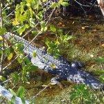 "Alligator at JN ""Ding"" Darling NWR"